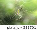 蜘蛛 383701