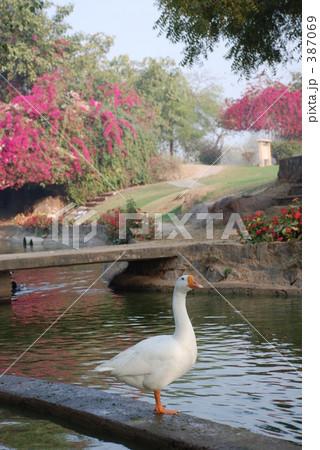 デリーの白鳥 387069