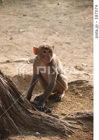 インドの猿 387074