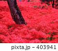 彼岸花 一面 赤の写真 403941