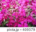 芝桜 小花 シバザクラの写真 409379