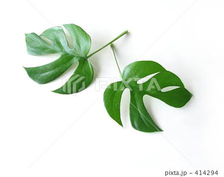 ミニモンステラのエキゾチックな葉の写真素材 [414294] - PIXTA