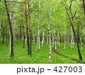 白樺林 427003