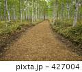 白樺林の一本道 427004