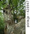 巨樹 樹木 クスノキの写真 428947