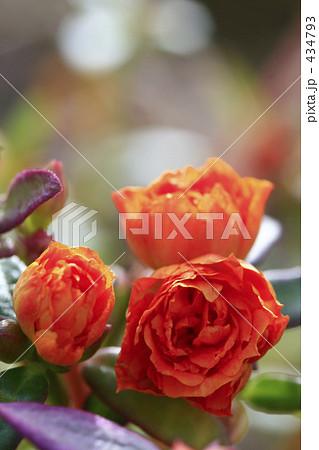 ポーチュラカ 八重のオレンジ 434793