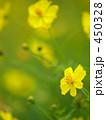 黄色いコスモス 450328