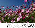コスモス畑 こすもす 秋桜畑の写真 454868