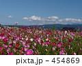 コスモス畑 こすもす 秋桜畑の写真 454869