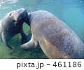 マナティ 海獣 マナティーの写真 461186