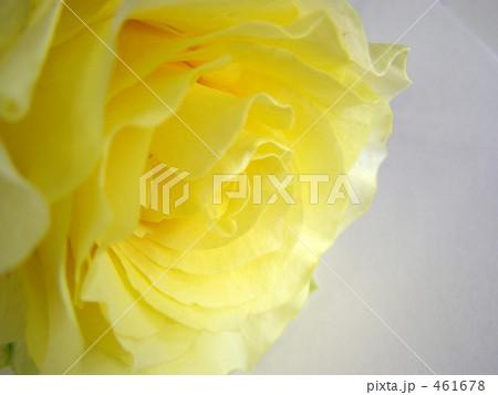 黄色のバラ 461678