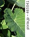 里芋の葉 465041