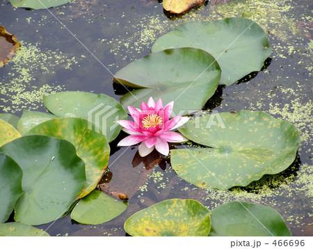 蓮の花 466696
