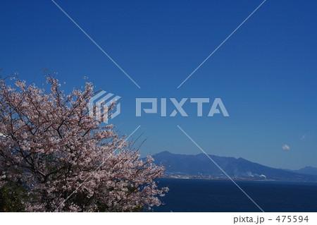 由比の桜1 475594