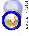 きんぎょ 金魚鉢 キンギョの写真 481416