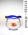 きんぎょ 金魚鉢 キンギョの写真 481418