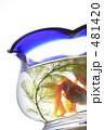 きんぎょ 金魚鉢 キンギョの写真 481420