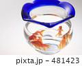 きんぎょ 金魚鉢 キンギョの写真 481423