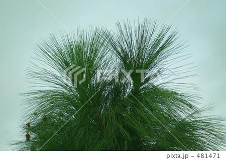松の葉 481471