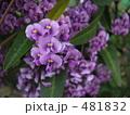 紫色の可愛い花 ハーデンベルギア 481832