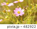コスモスの花と種 482922