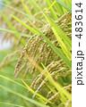 農作物 豊作 田んぼの写真 483614