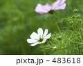 コスモス畑 秋桜畑 コスモスの写真 483618