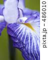 あやめ 花ショウブ はなしょうぶの写真 486010