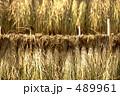 藁 乾燥 穀物の写真 489961