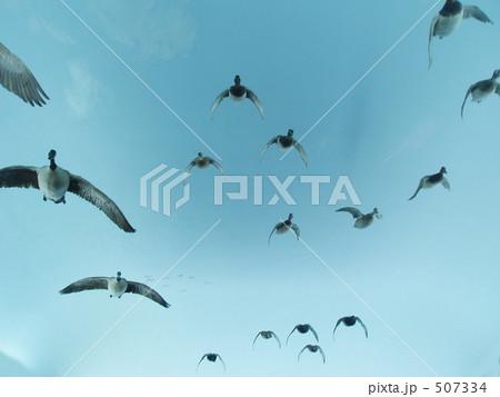 飛翔 鳥たちの旅立ち 507334