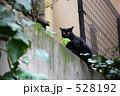 ノラネコ 黒猫 野良猫の写真 528192