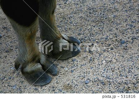水牛の蹄 531816