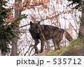 旭山動物園 狼 オオカミの写真 535712