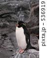 旭山動物園 イワトビペンギン ペンギンの写真 536919