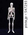 人体骨格 547293