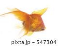 金魚 547304