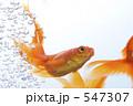金魚 547307