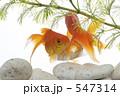 金魚 547314