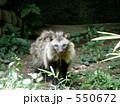 狸 タヌキ ほ乳類の写真 550672