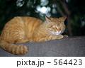 きじねこ キジネコ キジ猫の写真 564423