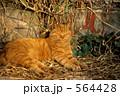 ネコ 雉猫 キジ猫の写真 564428