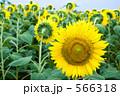 ヒマワリ畑 566318