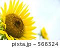 ヒマワリ ヒマワリ畑 花畑の写真 566324