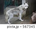 オオカミ 狼 動物の写真 567345