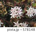 花月 カネノナルキ カゲツの写真 578148