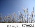 すすき ススキ 植物の写真 579928