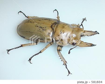モーレンカンプ・オウゴンオニクワガタ(スマトラ・ベンクール産)♂60mm(Allotopus moellenkampi ) 581604