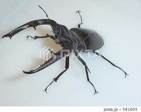マンディブラリスフタマタクワガタ(スマトラ・パダン産)♂110mm(Hexarthrius mandibularis sumatranus) 581605