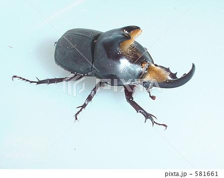 アブデルスツノカブトムシ(アルゼンチン産)♂(Diloboderus abderus) 581661