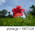南国 ハイビスカス 花の写真 587116